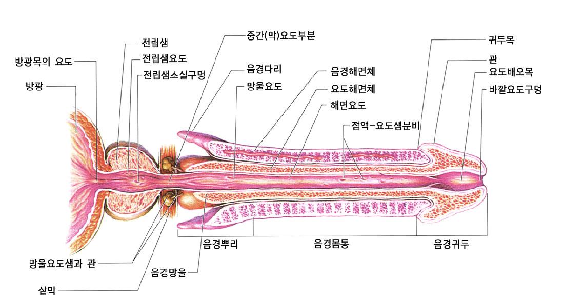 Bulbous Urethra Anatomy Image Collections Human Body Anatomy